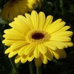 Gerbery - květy všech barev